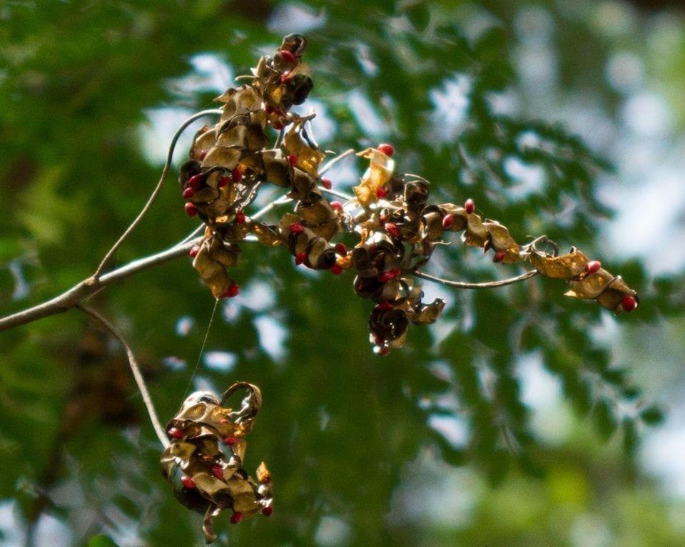 Red Lucky Seeds - Jambei